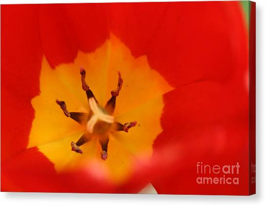 Tulip Collection Photo 3 Canvas Print