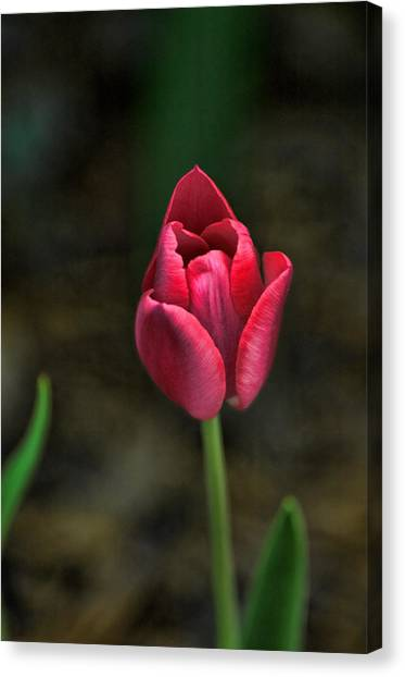 Canvas Print featuring the photograph Tulip by David Armstrong