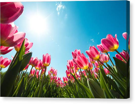 Tulip Field From Below Canvas Print by Borchee