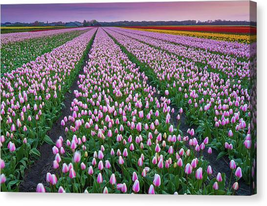 Tulip Fields In The Netherlands At Dusk Canvas Print by Peter Zelei Images