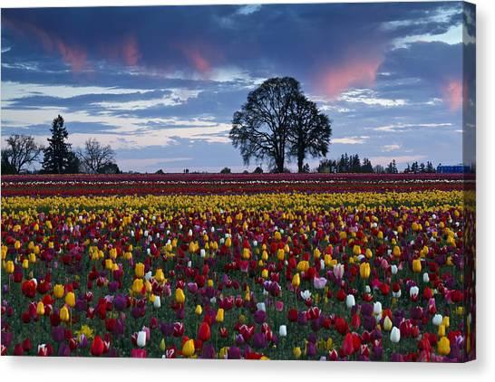 Tulip Field's Last Colors Canvas Print