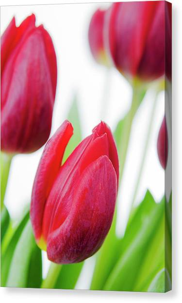 Perennial Canvas Print - Tulip Flowers (tulipa Sp.) by Gustoimages/science Photo Library