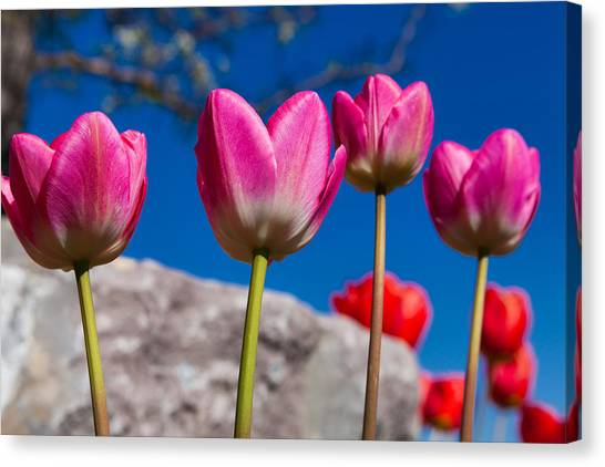 Revival Canvas Print - Tulip Revival by Chad Dutson
