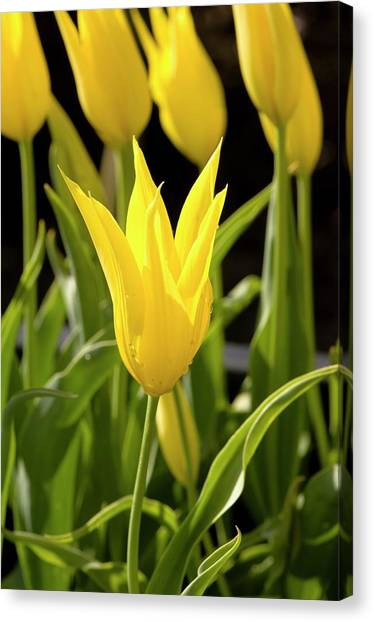 Tulip (tulipa 'westpoint') Canvas Print by Adrian Thomas/science Photo Library