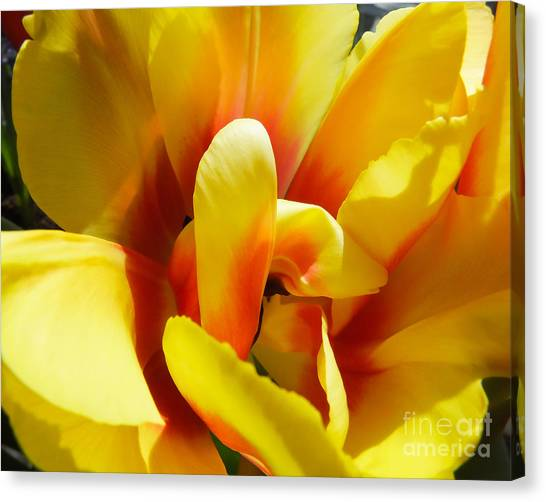 Canvas Print featuring the photograph Tulip Unfolding by Kristen Fox