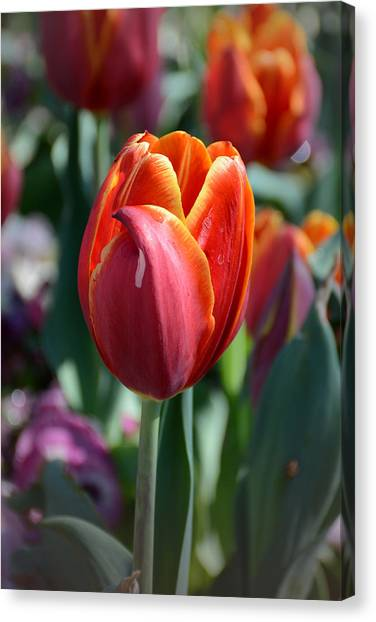 Tulip With A Twist Canvas Print