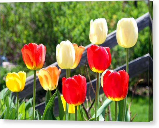 Tulips Aglow Canvas Print by James Hammen