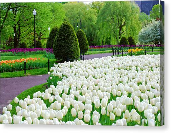 Tulips Boston Public Gardens  Canvas Print