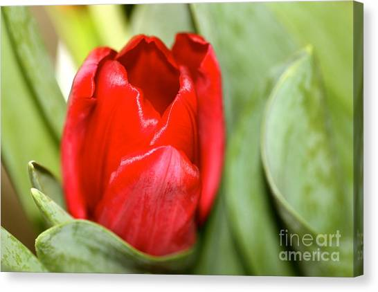 Tulips In Study 4 Canvas Print