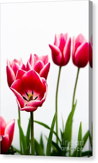 Tulips Say Hello Canvas Print
