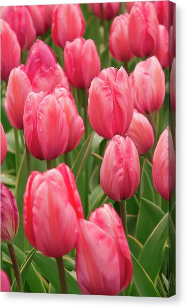Tulips (tulipa 'design Impression') Canvas Print by Adrian Thomas/science Photo Library