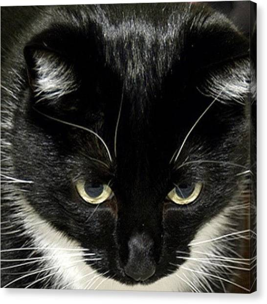 Tuxedo Canvas Print - Tully Stalking Prey by Couvegal Brennan