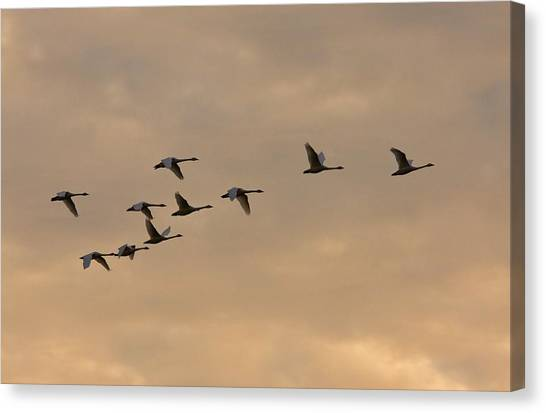 Tundras Canvas Print - Tundra Swans by Bob Gibbons/science Photo Library