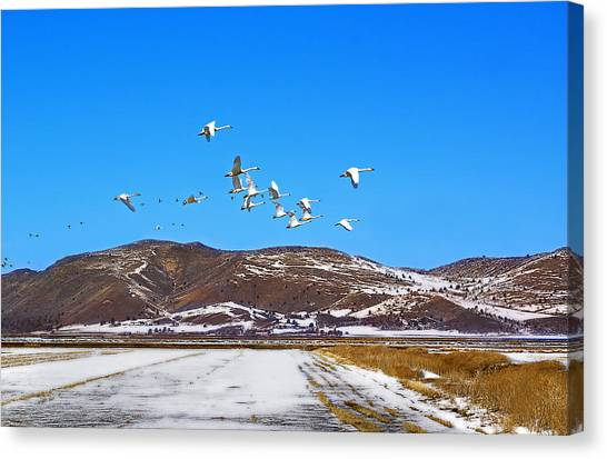 Tundra Swans Take Flight  Canvas Print