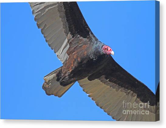 Undertaker Canvas Print - Turkey Vulture In Flight - 7d21180 by Wingsdomain Art and Photography