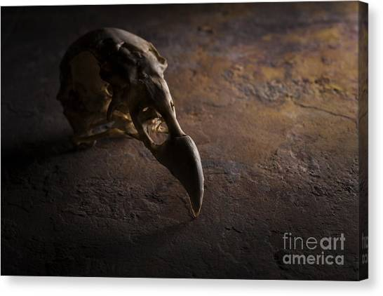 Turkey Vulture Skull On Slate Canvas Print