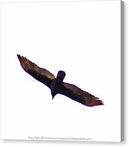 Vultures Canvas Print - Turkey Vulture Soaring Under The Gray by Renny Spencer
