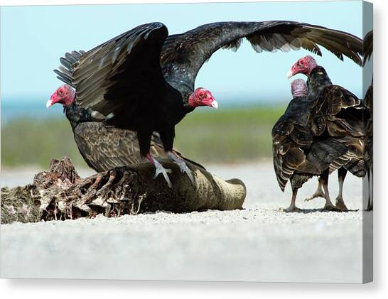 Buzzards Canvas Print - Turkey Vultures by Christopher Swann/science Photo Library