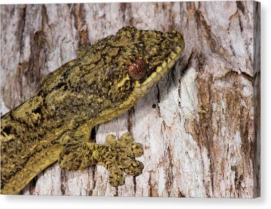 Ecuadorian Canvas Print - Turnip-tailed Gecko (thecadactylus by Pete Oxford