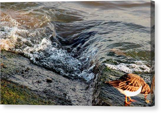 Turnstone By The Water Canvas Print