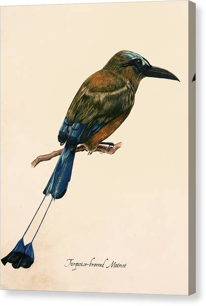 Turquoise-browed Motmot Canvas Print by Rachel Root