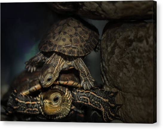 Turtels Canvas Print by Amr Miqdadi