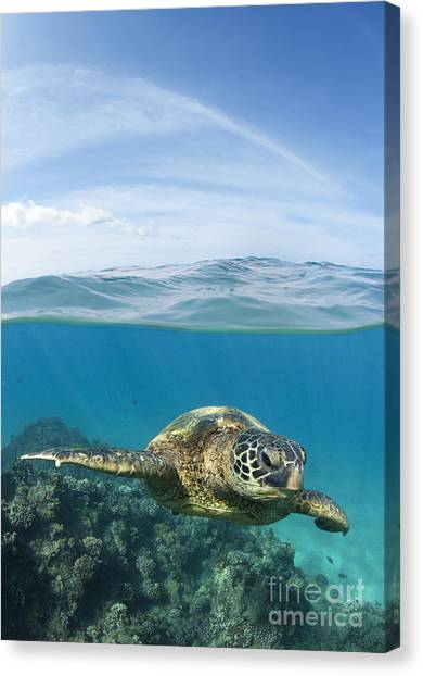 Turtle At Black Rock Canvas Print