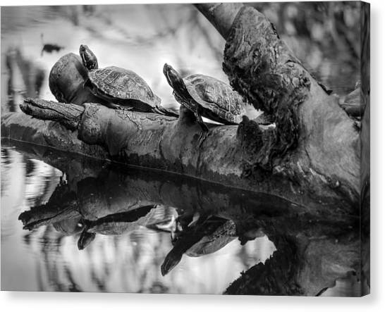 Turtle Bffs Bw By Denise Dube Canvas Print