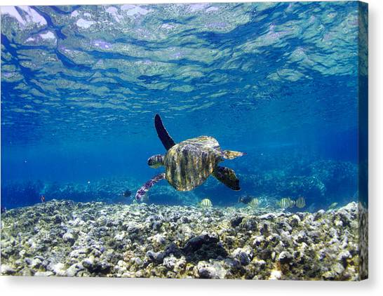 Turtle Cruise Canvas Print