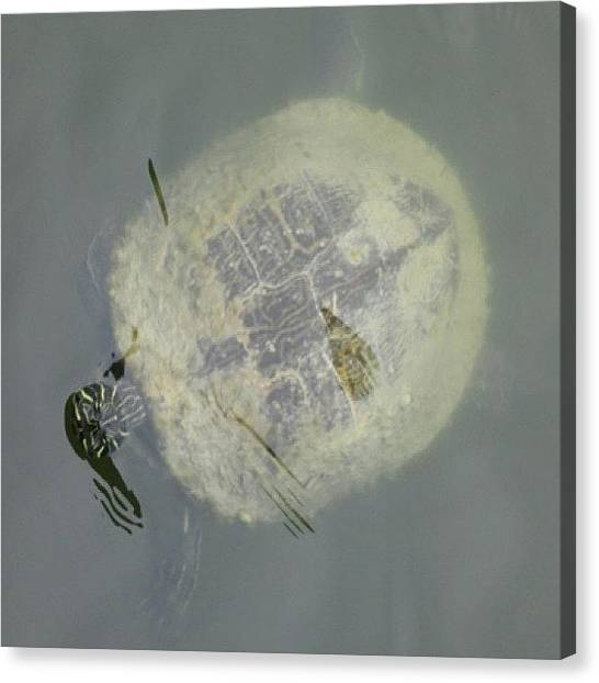 Spam Canvas Print - Turtle! :d #cute #like #love #likes by Zoe Sutter