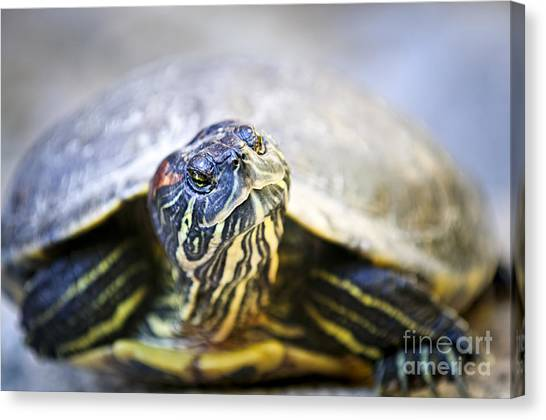 Turtles Canvas Print - Turtle by Elena Elisseeva