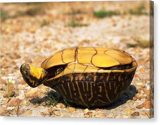 Box Turtles Canvas Print - Turtle On Its Back by Karl H. Switak