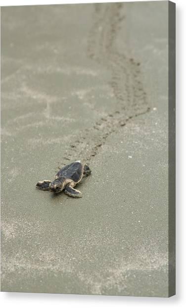 Turtle Tracks Canvas Print