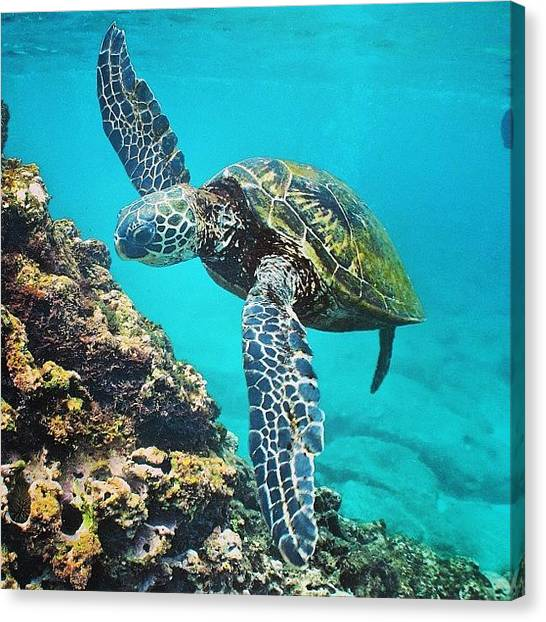 Reptiles Canvas Print - #turtle #turtles #honu #hawaiistagram by Brian Governale
