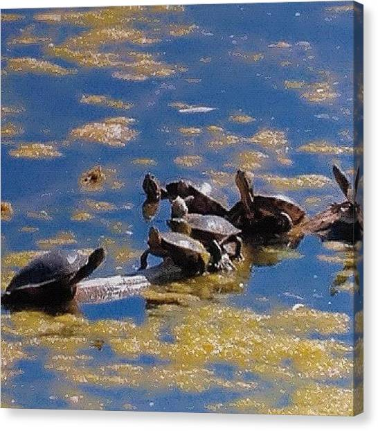 Turtles Canvas Print - Turtles by Miki Torres
