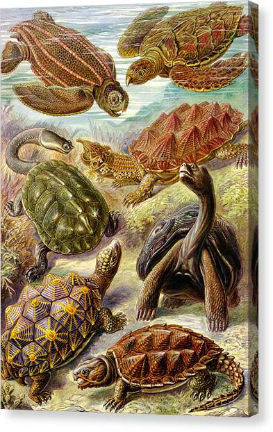 Snapping Turtles Canvas Print - Turtles Turtles And More Turtles by Unknown