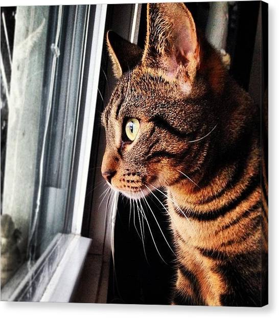 Bengals Canvas Print - Tuukka Wants To Go Outside And Play In by Kristine Dunn