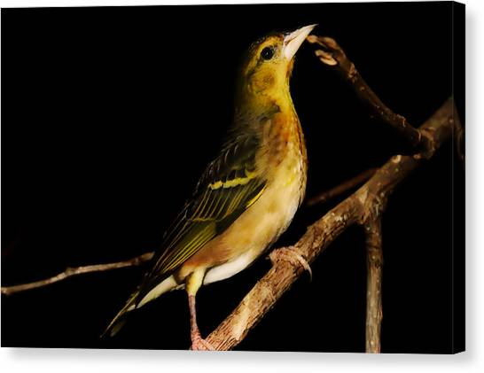 Finch Canvas Print - Tweety Bird by Martin Newman