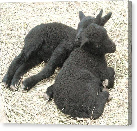Twin Black Lambs Canvas Print