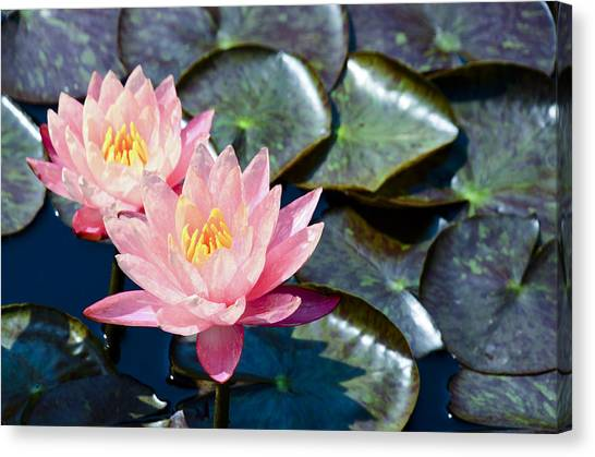 Two Pink Waterlilies Canvas Print