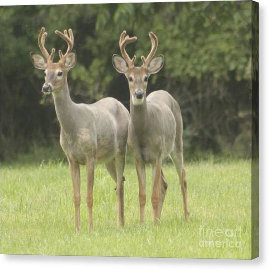 Twin Young Bucks Canvas Print