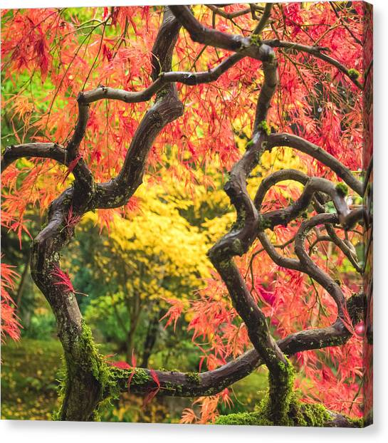 Twisted Maple Canvas Print