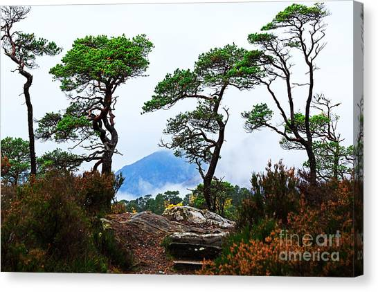 Glen Affric Canvas Print - Twisted Pines In Glen Affric by Louise Heusinkveld
