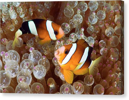 Anemonefish Canvas Print - Two Anemonefish Swim Among Poisonous by Jaynes Gallery