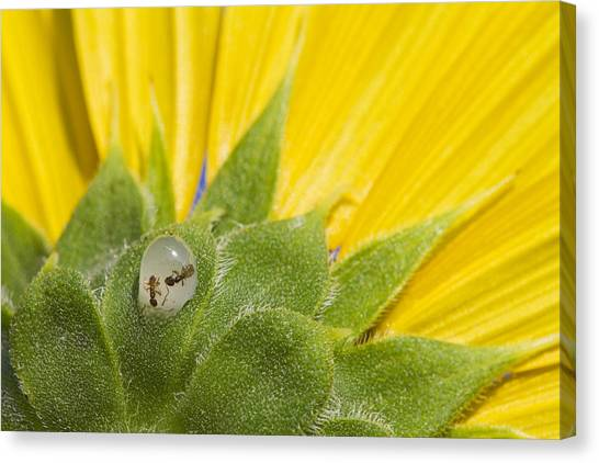 Two Ants Entombed In Sunflower Resin Canvas Print