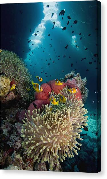 Anemonefish Canvas Print - Two-banded Anemonefish And Bulb by Dray van Beeck
