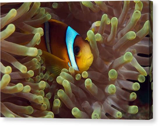 Anemonefish Canvas Print - Two-banded Anemonefish Red Sea Egypt by Eric Gibcus