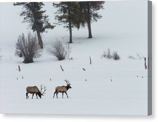 Teton National Forest Canvas Print - Two Bull Elks Cross A Snowy Field by Steve Winter