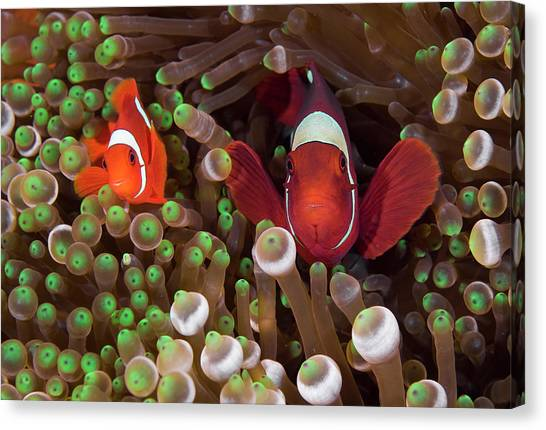 Anemonefish Canvas Print - Two Clownfish (amphiprion Ocellaris by Jaynes Gallery