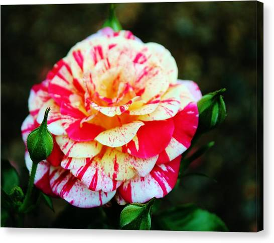 Two Colored Rose Canvas Print